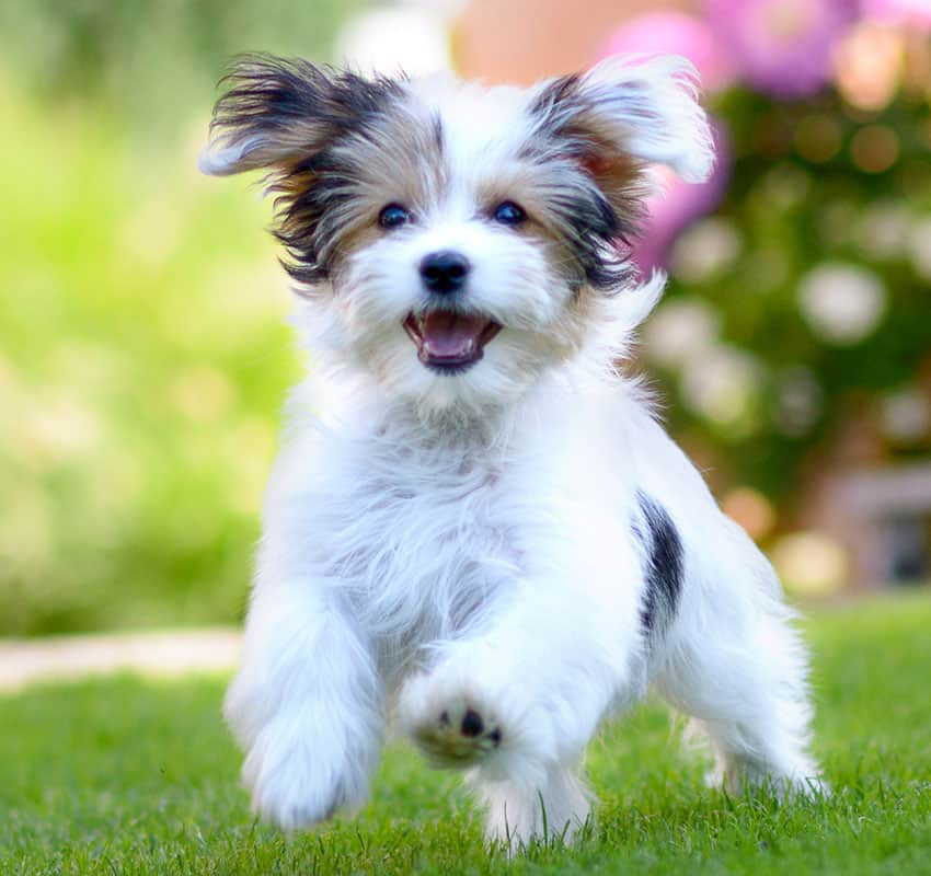 Happy dog running on the grass