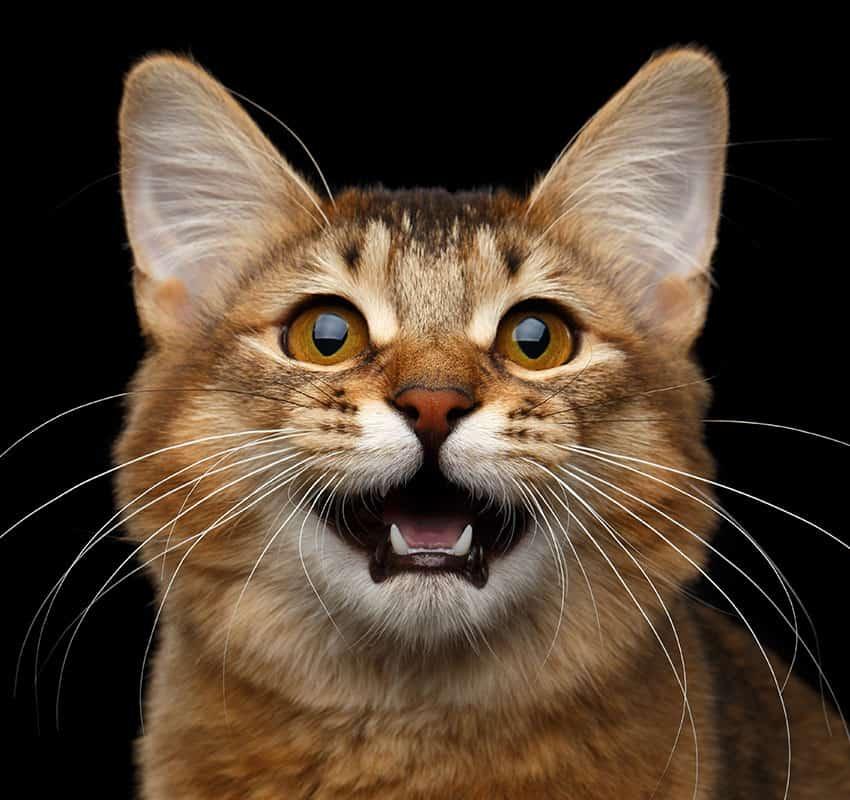 Cat face close up