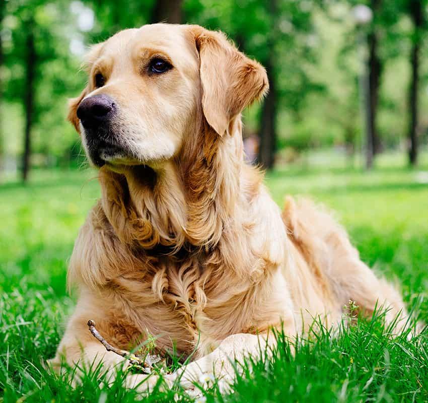 Brown dog portrait