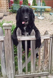 Dog on the wooden fence