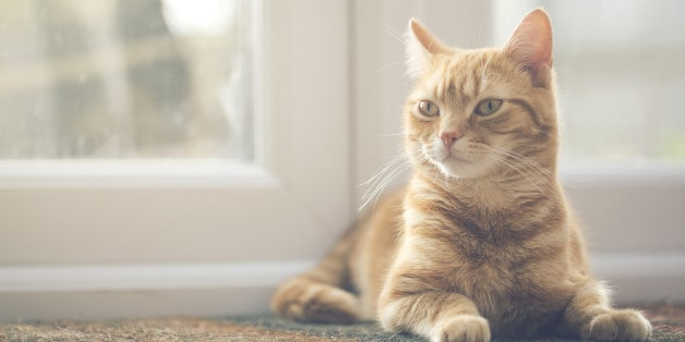 """IMAGE BY CHRIS WINSOR VIA GETTY IMAGES"""" description: """"Heart disease in cats is a real worry: learn the risks, symptoms, and treatments."""