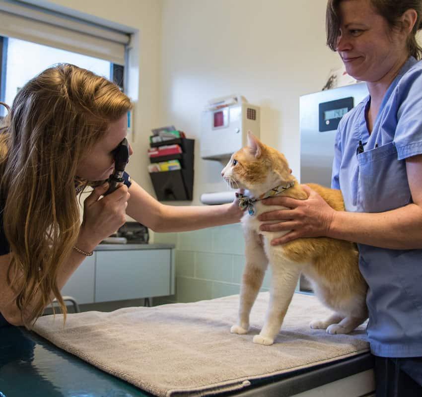 Vet and techcian examining cat